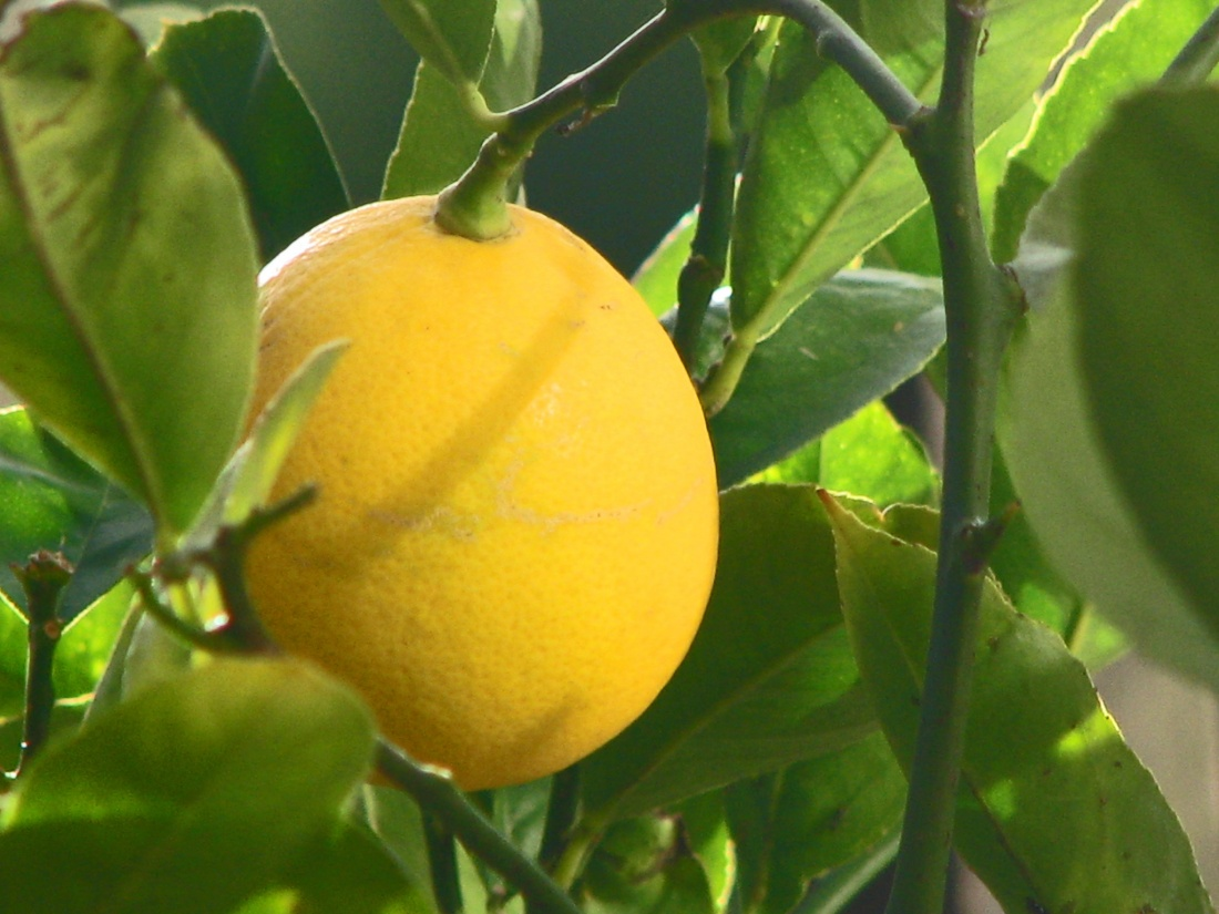 lemon, growing lemons, lemons in nature, leave on lemons