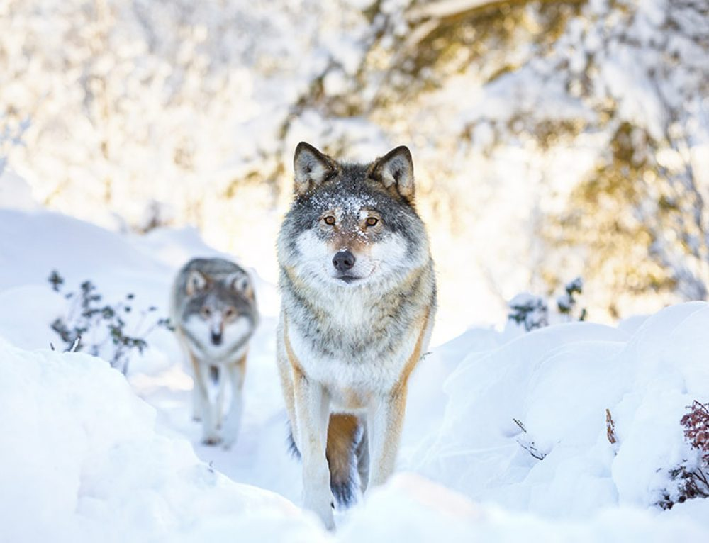Turn your lone wolves into a pack right here in Dublin!