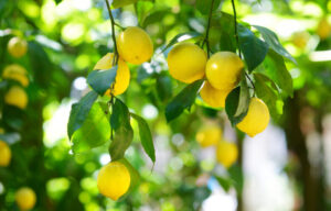 Picture of lemons on a tree